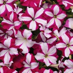 Burgundy Star Wave Petunia Jumbo 6 pack (reg. 19.99)